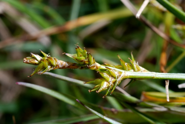 Image of Carex echinata