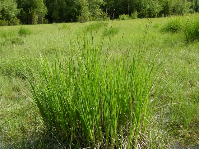 Tufted Sedge (Carex elata)