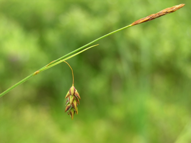 Image of Carex limosa