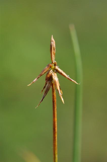 Bristle Sedge (Carex microglochin)