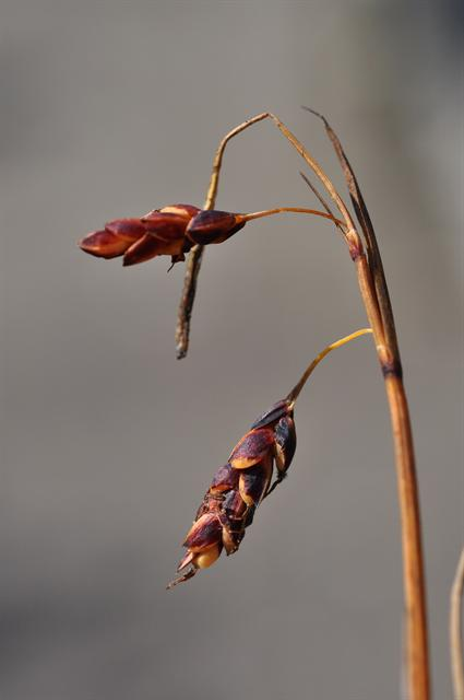 Mountain Bog-Sedge (Carex rariflora)