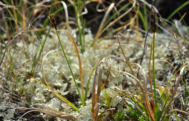 Rock Sedge (Carex rupestris)
