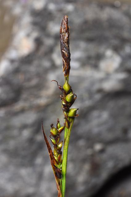 Sheathed Sedge (Carex vaginata)