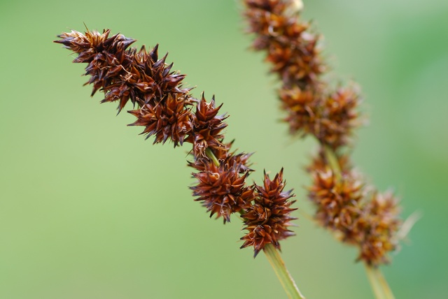 True Fox-Sedge (Carex vulpina)