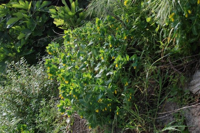 Greater Honeywort (Cerinthe major)