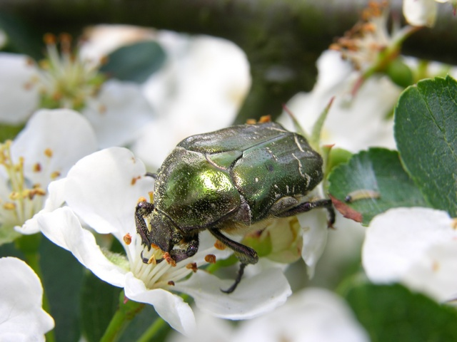 Metallic Green Chafer (Cetonia cuprea)