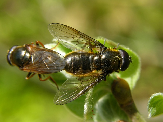 Cheilosia albitarsis photo