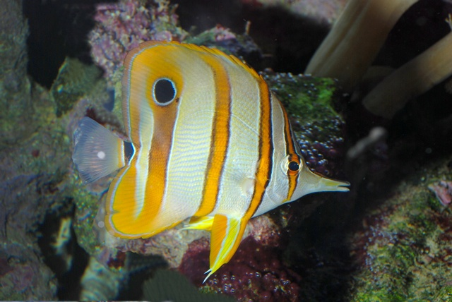 Beaked butterflyfish, Copper-banded butterflyfish (Chelmon rostratus)