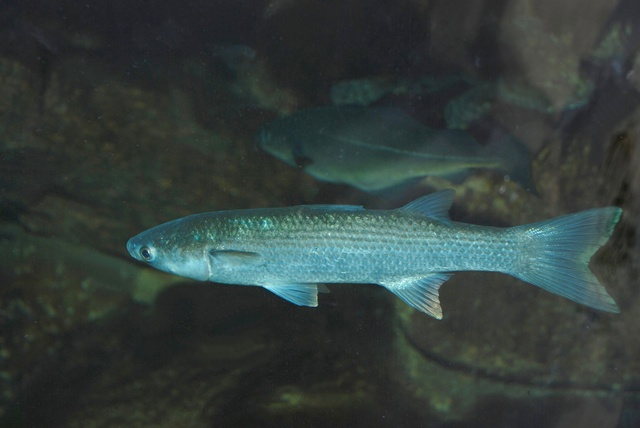 Thicklip grey mullet   (Chelon labrosus)