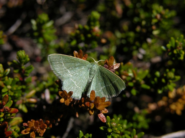 Small Grass Emerald (Chlorissa viridata)