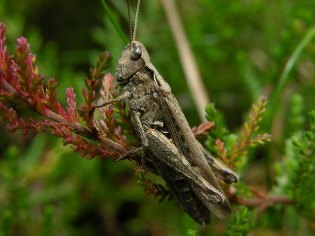 Chorthippus brunneus photo