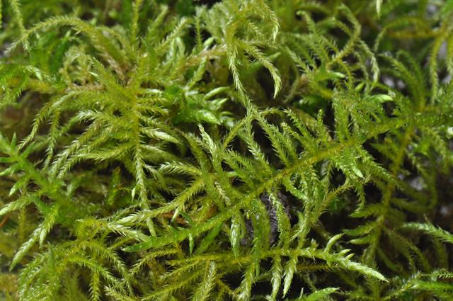 Hair-pointed Feather-moss (Cirriphyllum piliferum)
