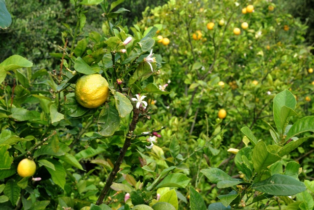 Citrus limonum image