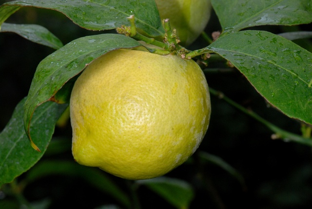 Citrus limon photo