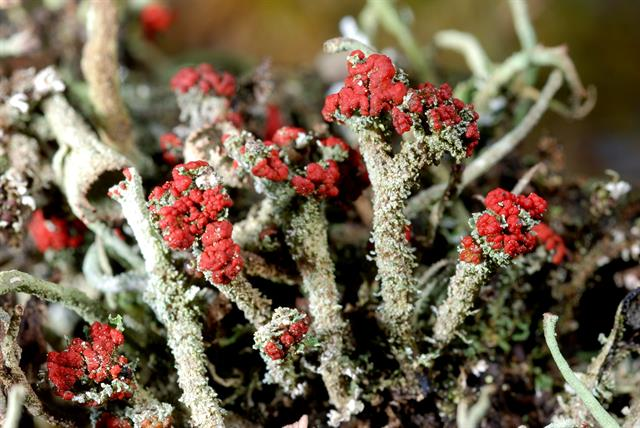 Cladonia floerkeana photo
