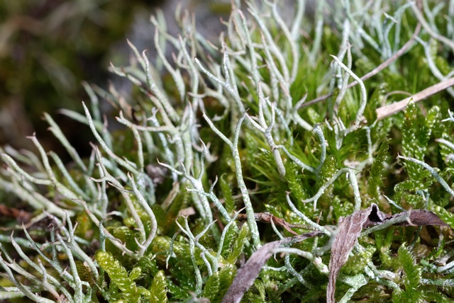 Many-forked cladonia (Cladonia furcata)