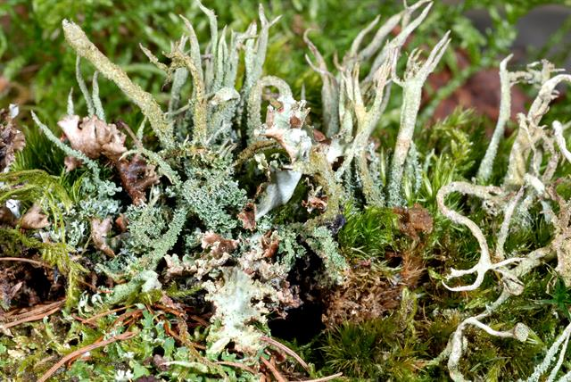 Cladonia glauca photo