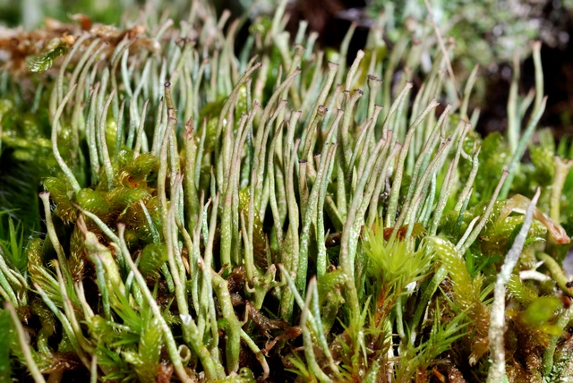 Cladonia gracilis photo