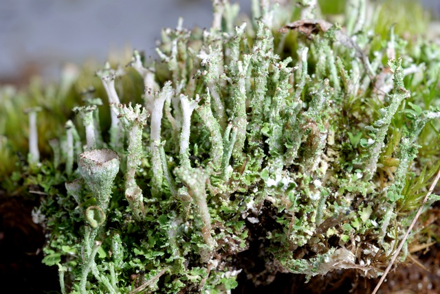 Cladonia ramulosa image