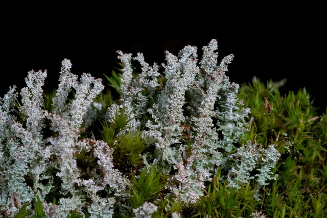 Cladonia squamosa photo