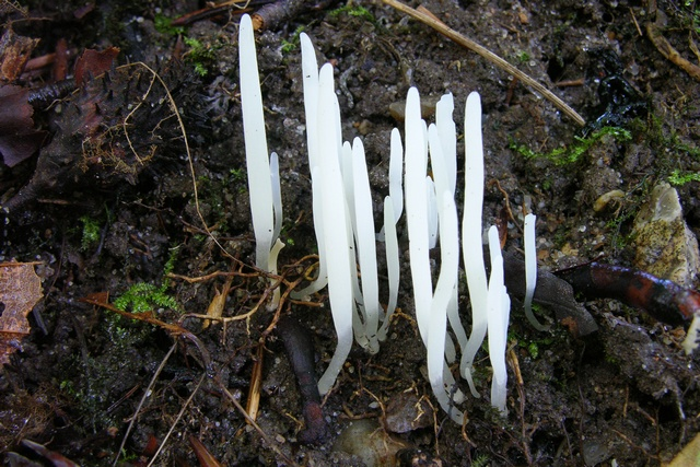 Pointed Club (Clavaria acuta)