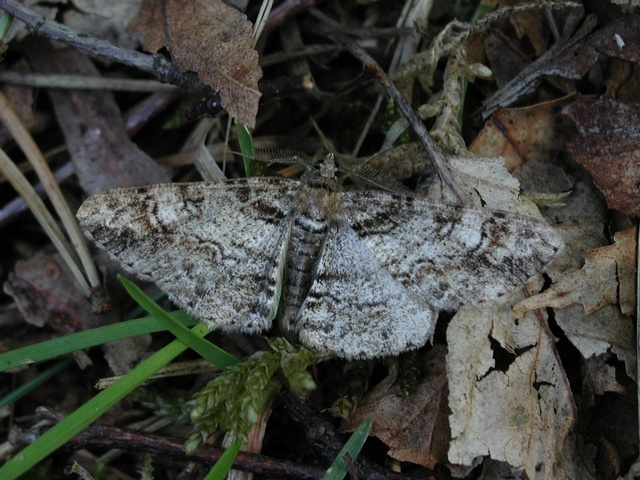 Ringed Carpet (Cleora cinctaria)