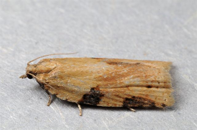 Cabbage Leafroller (Clepsis spectrana)