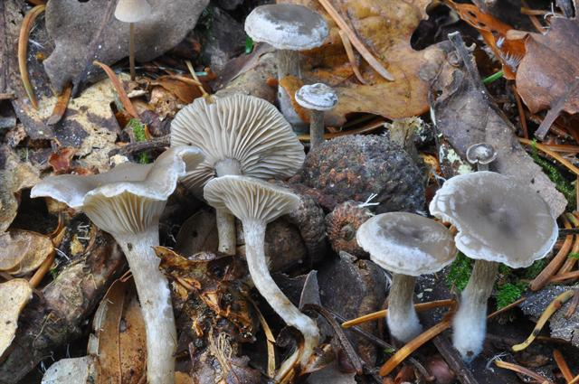 Mealy Frosted Funnel (Clitocybe ditopus)