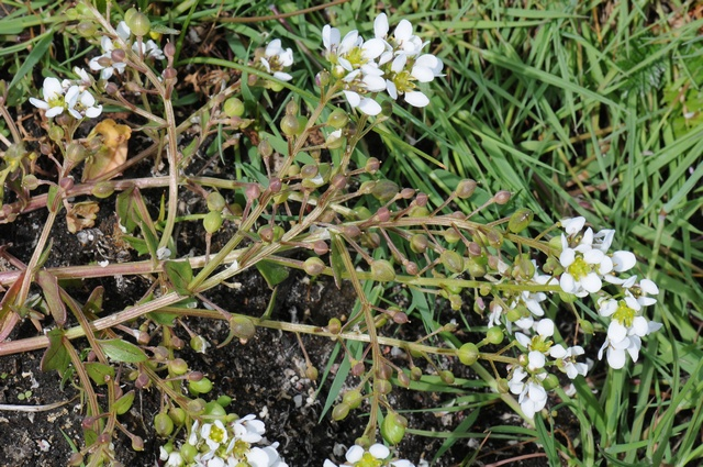 English Scurvygrass (Cochlearia officinalis ssp. anglica)