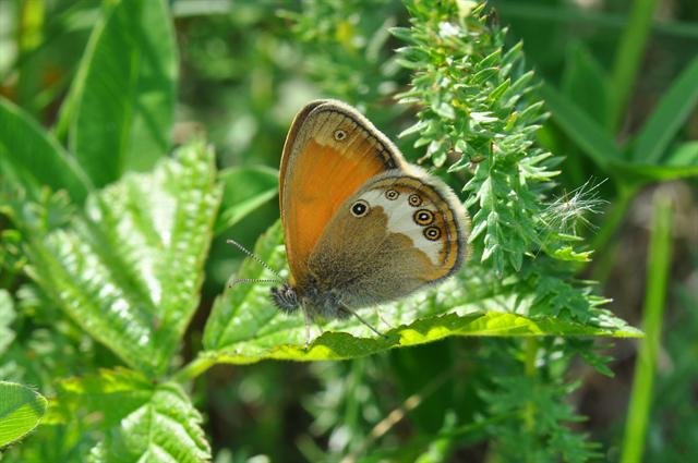 Pearly Heath (Coenonympha arcania)