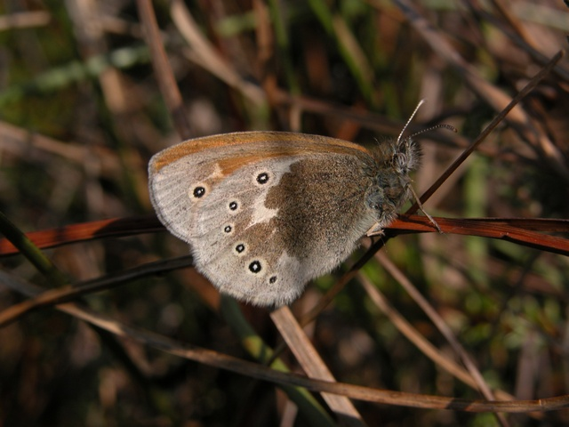Large Heath (Coenonympha tullia)