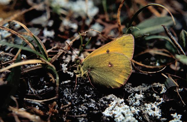 Northern Clouded Yellow (Colias hecla)