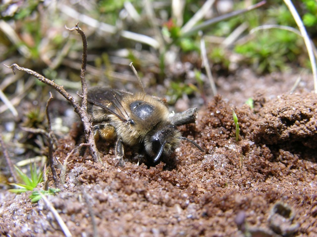 Colletes cunicularius photo