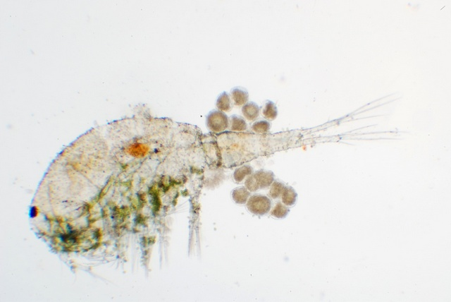 Copepoda indet photo