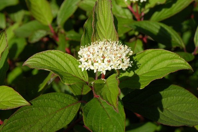 Red-osier Dogwood (Cornus sericea)