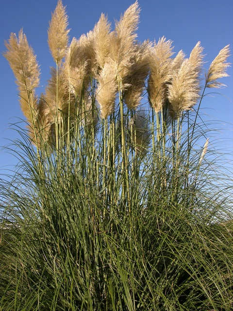 Pampas-grass (Cortaderia selloana)