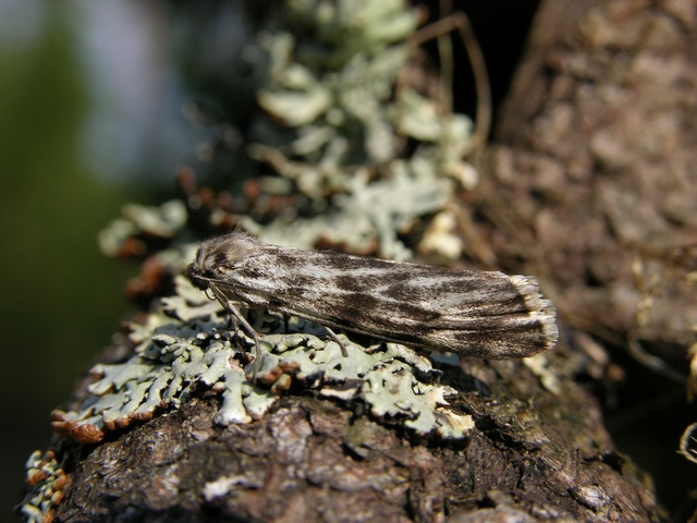 Speckled Footman (Coscinia cribraria)