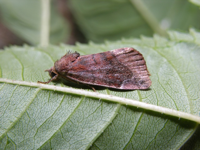 Lunar-spotted Pinion (Cosmia pyralina)