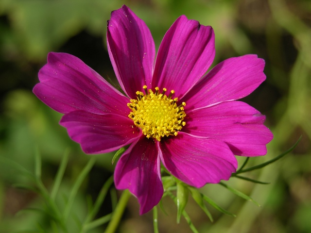 Image of Cosmos bipinnatus
