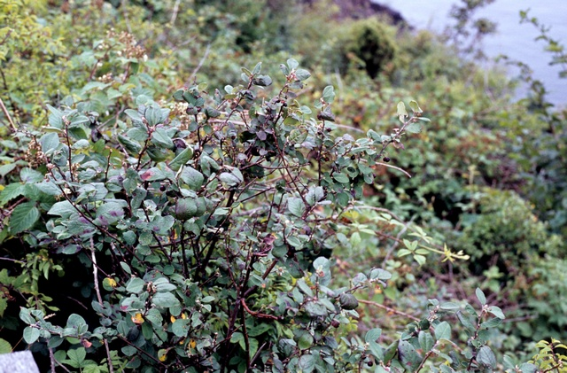 Image of Cotoneaster niger