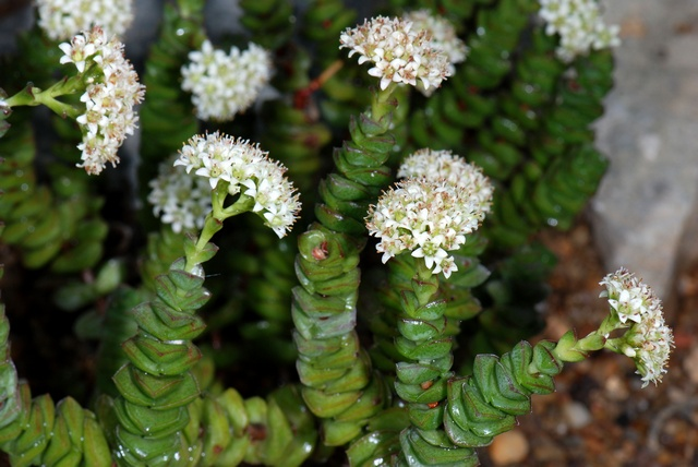 Crassula columnaris