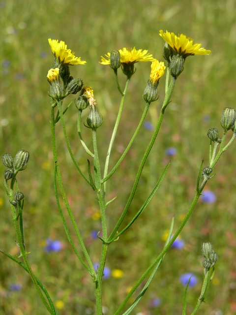Beaked Hawk´s Beard (Crepis tectorum)