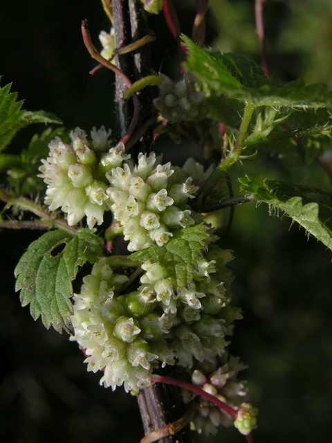 Greater Dodder (Cuscuta europaea)
