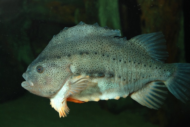 Lumpsucker   (Cyclopterus lumpus)