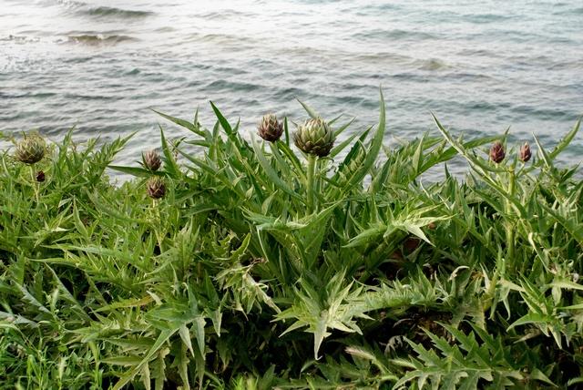 Cynara cardunculus image