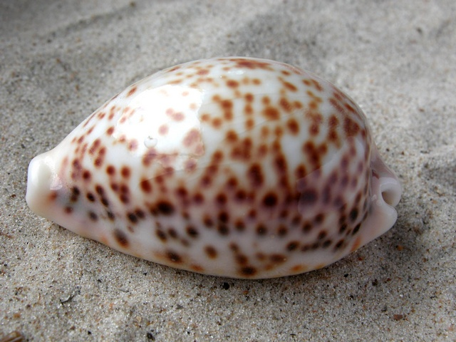 Cypraea pantherina