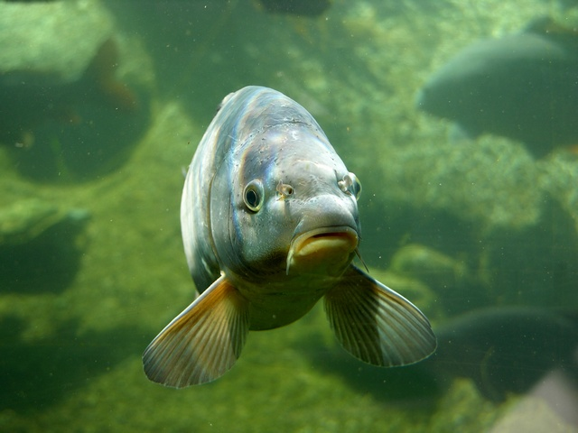 common carp pictures. Common carp (Cyprinus carpio)