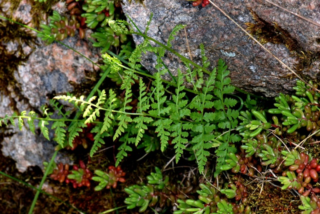 Brittle Bladder-Fern (Cystopteris fragilis)