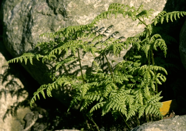 Mountain Bladder-Fern (Cystopteris montana)
