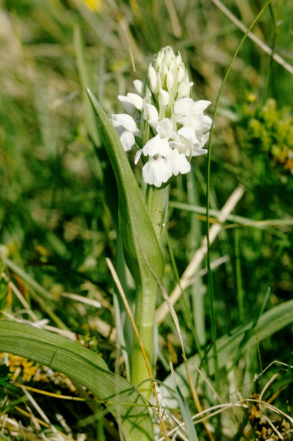 Dactylorhiza majalis ssp. calcifugiens photo